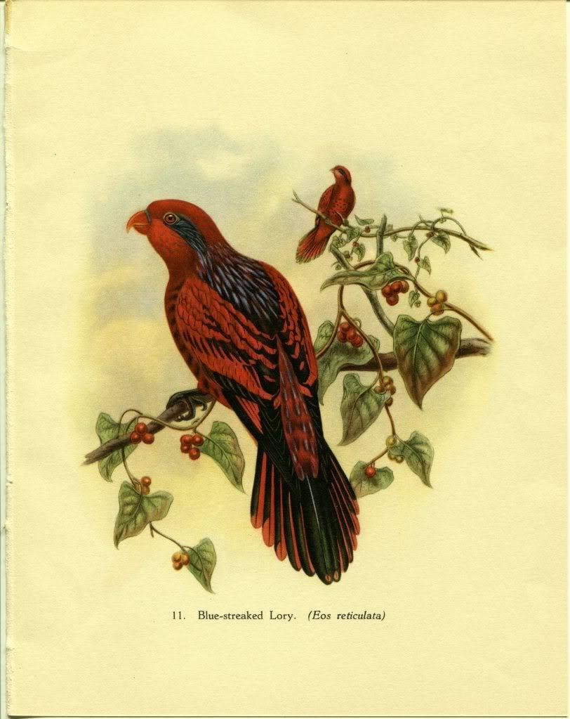 Tropical Birds: Blue-streaked Lory. John Gould. 1948 vintage print.