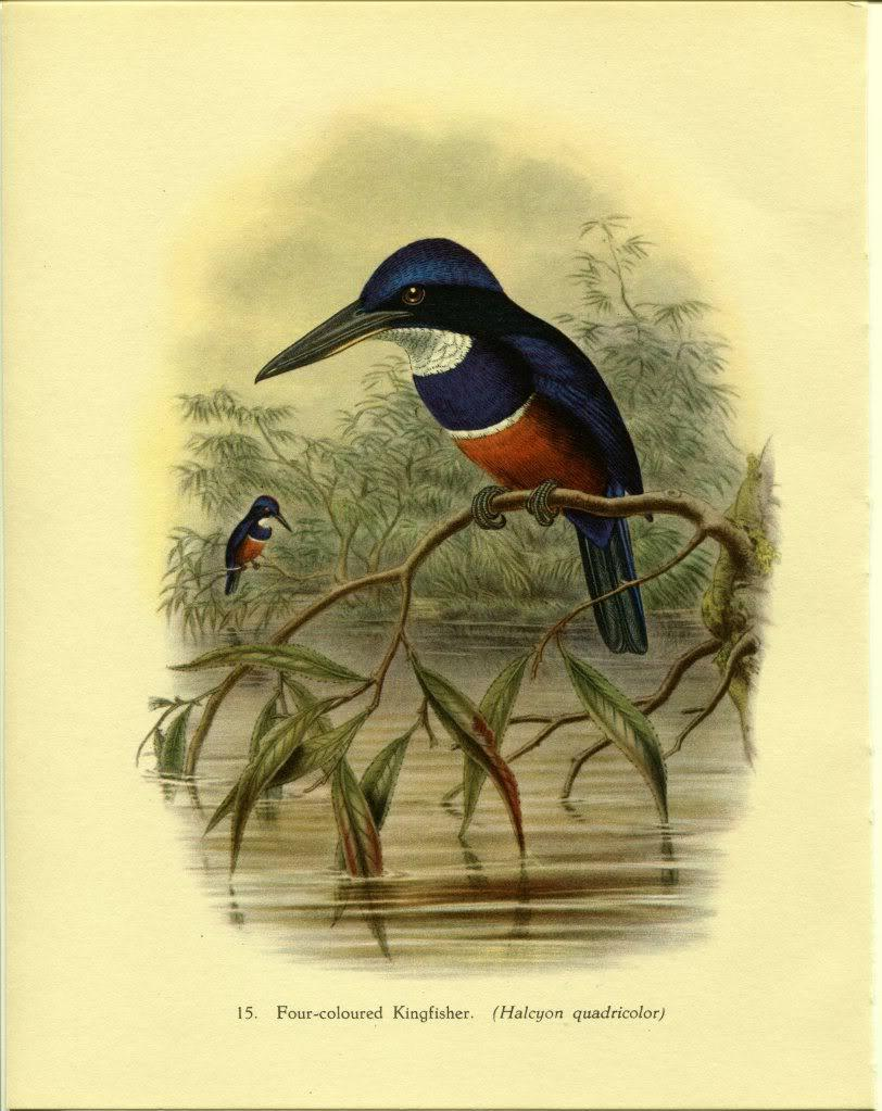 Tropical Birds: Four-coloured Kingfisher. John Gould. 1948 vintage print.
