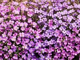 SHIPPED FROM US 4,400 Purple Rockcress Seeds (Aubrieta deltoidea), ZG09 - $34.76