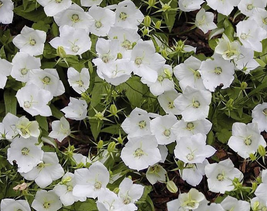50pcs Very Graceful Campanula Carpatica 'White Clips' Perennial Flowers - $13.93