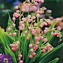 50pcs Very Exotic Colorful Bell Orchid Lily of TheValley Flower Bonsai Seed IMA1 - $14.99