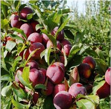 10 Seeds/Pack Delicious Round Plums Fruit Tree Seed Good Quality Mysterious Gift - $19.89