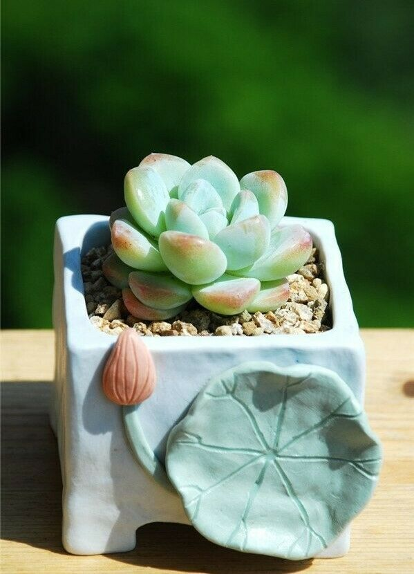"Primary image for Mini Succulent Succulent Echeveria Ice Green, Plant Rooted in 2"" Planter"