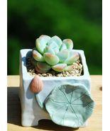 "Mini Succulent Succulent Echeveria Ice Green, Plant Rooted in 2"" Planter - $19.99"