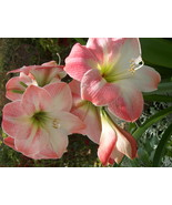 "HS Garden - 2 Pcs Amaryllis Hippeastrum ""Apple Blossom"" Flower Bulbs  - $3.38"