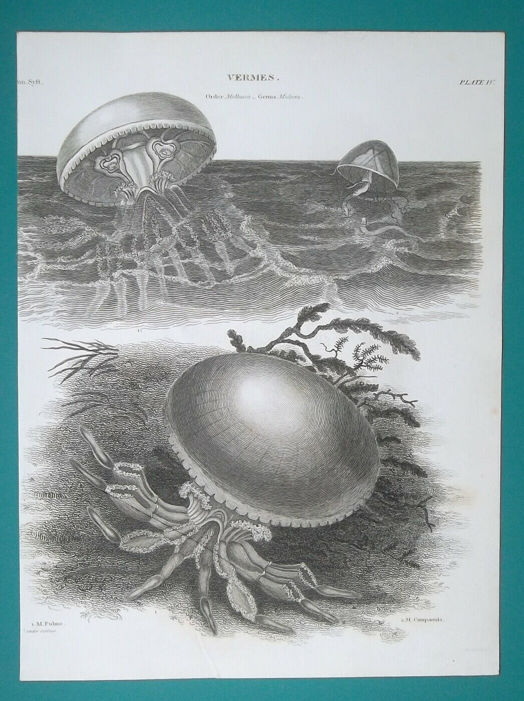 Primary image for MEDUSAS Vermes Order Mollusca - 1820 A. REES Antique Print