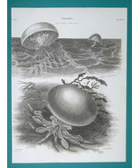 MEDUSAS Vermes Order Mollusca - 1820 A. REES Antique Print - $22.50