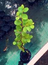 Jujube Rhamnaceae 1 Live Tree tall 12 inch ThailandMrk - $15.00