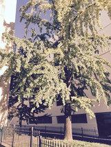 Ginkgo Tree maidenhair  qt. pot (Ginkgo biloba) image 4