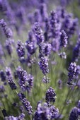 LAVENDER 8oz - Candle Fragrance FO
