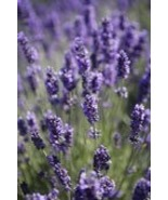 LAVENDER 8oz - Candle Fragrance FO - $10.98