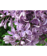 LILAC 8oz - Candle Fragrance FO - $10.98