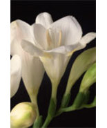 FREESIA  64oz (4lbs) - Candle Fragrance Oil FO - $28.99
