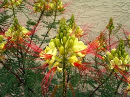 CAESALPINIA gillesii yellow bird of paradise 10 seeds - $21.99