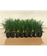 Mondo Grass - 20 Live Plants - Ophiopogon Japonicus - Shade Loving Everg... - $72.98
