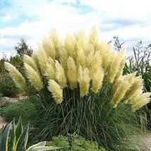 Shipped From Us, 3 Yellow Pampas Grass Plants Flowering Perennial P1 - $88.99
