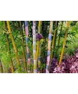 Giant Timber Bamboo Plant – Bambusa Oldhamii - 1 GALLON Size - Clumping   b - $48.00