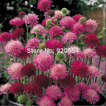 Imported seed,Real seed, 10pcs/lot Knautia macedonica 'Melton Pastels' flower se - $8.59