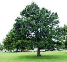 30 Austrian Pine, Pinus nigra Tree Seeds (Fast Hardy Evergreen) - $10.99