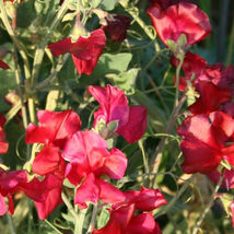 Fragrant Sweet Pea Royal Family Mix (Lathyrus odoratus) Vine Seeds (Show... - $14.99