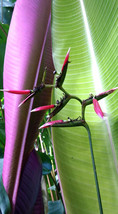 Rare LIVE Heliconia metallica Large Rhizome tropical plant flower banana... - £9.71 GBP