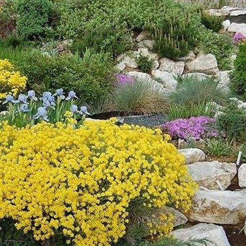 Primary image for SHIP FROM USA Alyssum Mountain Gold Flower Seeds (Montanum Mountain Gold) 200+Se