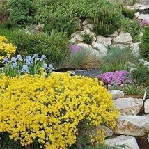 SHIP FROM USA Alyssum Mountain Gold Flower Seeds (Montanum Mountain Gold... - $23.92