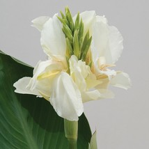 CANNA LILY Tropical white dwarf plant 50 seeds - $32.99