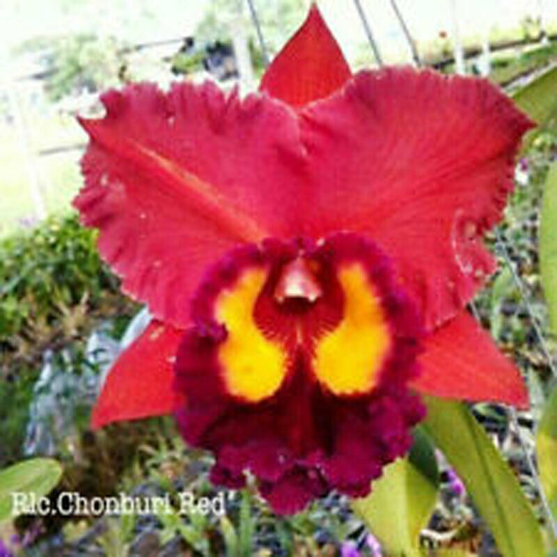 Rhyncattleanthe Blc Chonburi Red CATTLEYA Orchid Plant Pot BS 0509 E