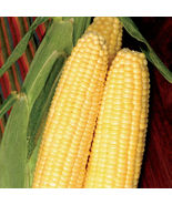 SHIP FROM US BODACIOUS RM HYBRID SWEET CORN SEEDS - 50 LB SEEDS - NON-GM... - $1,315.80