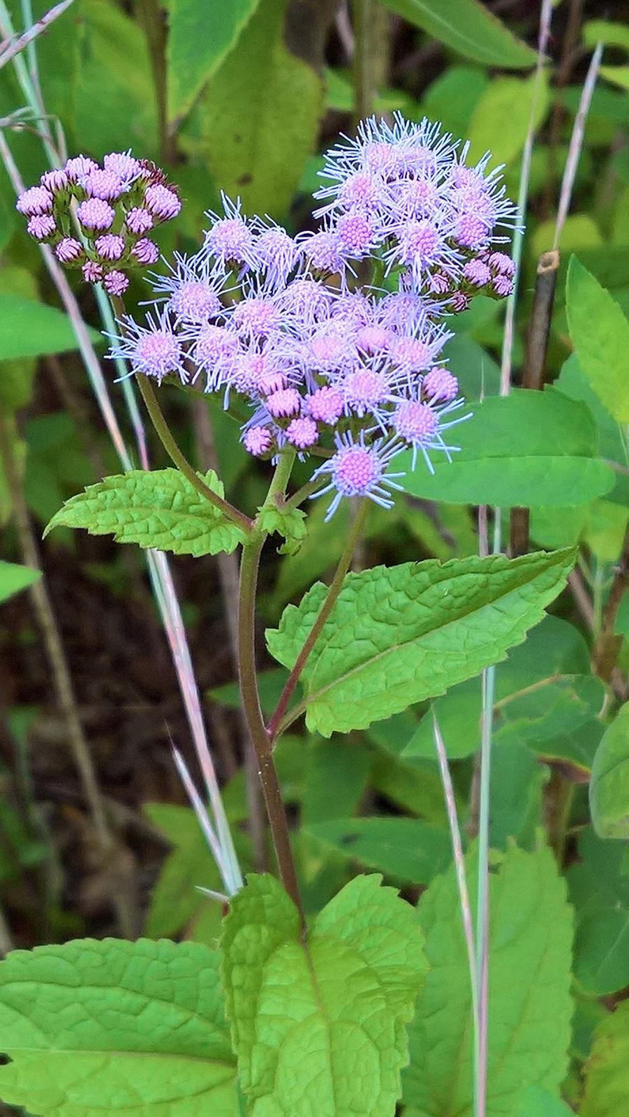 Organic Native Plant, Blue Mistflower, (Conoclinium coelstinum) Butterflies