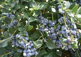 SHIP From US, 2 European Blueberry Bilberry 2 Ft, Flowering Shrub Plants P1 - $95.97