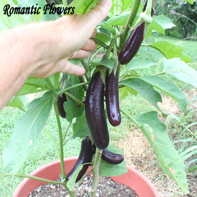Green 20+ seeds Aubergine Banglades Long EARLY and FINE! Eggplant