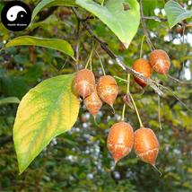 Buy Sinojackia Xylocarpa Tree Seeds 3pcs Plant Weight Tree Chen Chui Shu - $5.99