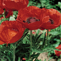 3 Plants - 3 Super Papaver Beauty of Livermere Red Poppies – Gardening -... - $55.95