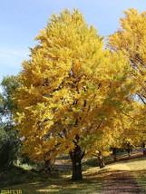 Ginkgo Tree maidenhair  qt. pot (Ginkgo biloba) image 1