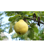 LIVE PLANT Provence Quince heirloom fruit tree seedling hardy edible Pea... - $55.99