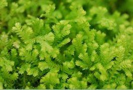"""Gold Tip Spikemoss -Selaginella kraussiana 'Gold Tips' - 4"""" Pot  - $31.79"""
