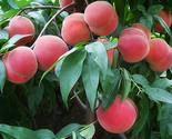 Orangic 8 seeds peaches pink flower sweet peach fruit tree seeds 03 thumb155 crop