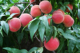 Orangic 16 Seeds Peaches Pink Flower Sweet Peach Fruit Tree Seeds image 3