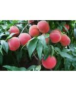 Orangic 16 Seeds Peaches Pink Flower Sweet Peach Fruit Tree Seeds - $15.66