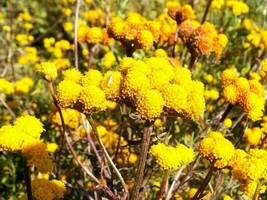 SHIPPED FROM US 500 Yellow Golden Ageratum Lonas Inodora Flower Seeds, LC03 - $15.00
