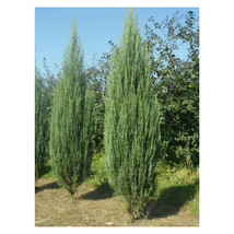 "1 Plant in 4"" Pot Sky Rocket Juniper  - $39.49"