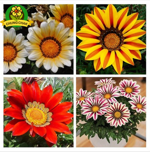 MIX GAZANIA SEED Rare Flowers Seed Gazania Rigens Seeds 200PC