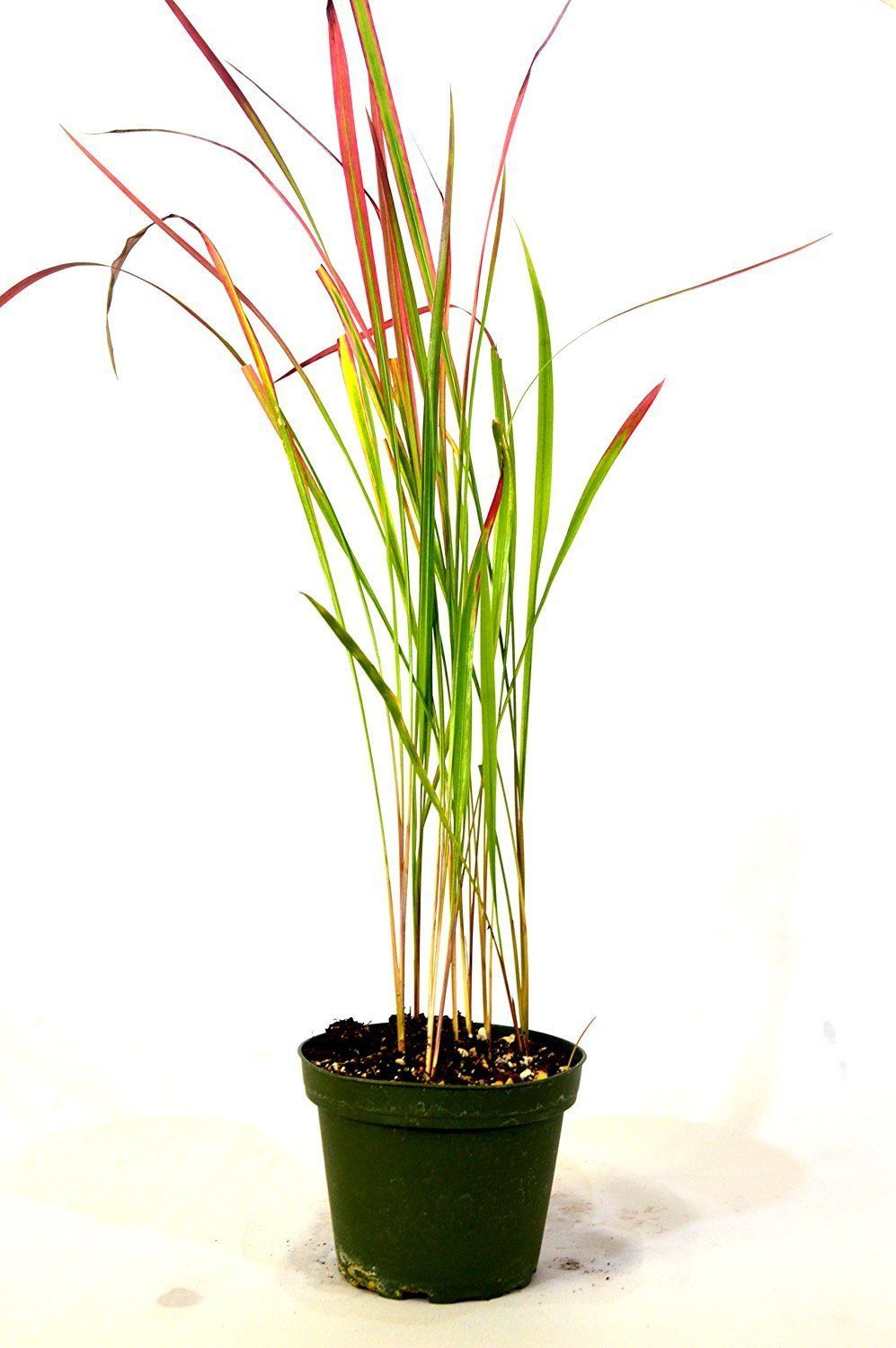 Japanese blood grass 4 39 39 pot rare easy to grow gift for Easy to grow ornamental grasses