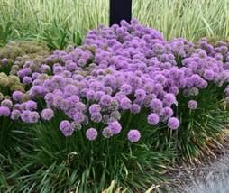 1 Starter Plant Allium Flower Millenium, Ornamental Onion, Allium Plant ... - $32.00
