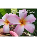 Hawaiian *Heavenly Daze* Rare Exotic Fragrant Plumeria Frangipani cutting - $16.95