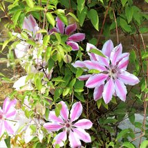 CLEMATIS Nelly Moser 200  seeds  - $26.99
