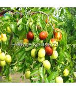 20Pcs Giant Sweet Jujube planting Bonsais Rare Exotic Bonsai Potted Frui... - $8.18