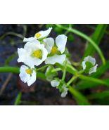500 seeds - White Broadleaf Arrowhead Sagittaria Latifolia Pond Wetland ... - $17.99